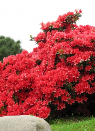 Blossoming bush of a red Azalea in a Japanese garden