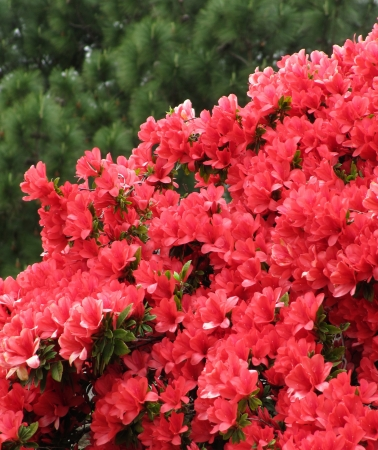 Red flowers Azalea in a Japanese garden  Background                                 photo