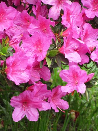 Pink flowers of the Azalea in a spring garden