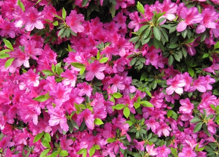 Pink flowers Azalea in a Japanese garden  Background                                  photo