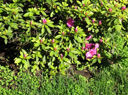 Blossoming bush of a pink Azalea in a spring garden                                photo