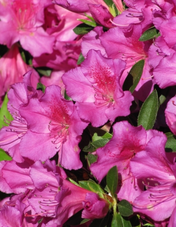 Pink flowers of the Azalea in the spring