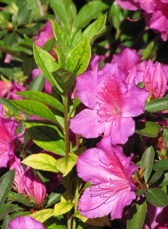 Young sprout of the Azalea and pink flowers                                photo