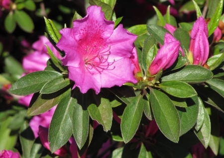 Pink flower of the Azalea and green leaves                                photo
