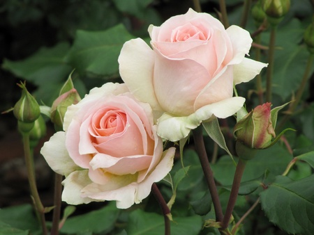 Beautiful light pink Roses