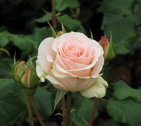 Light pink rose with buds                                 Stock Photo
