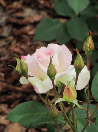 Gentle white Rose with buds  Spring garden