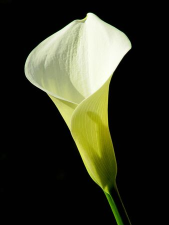 White Calla Lilly on the black                                 photo