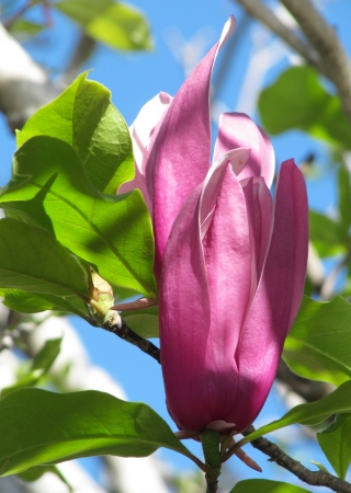 Flower of the Magnolia Lilac  Spring                                  photo