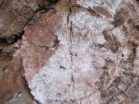 Cut of an old tree eaten by termites  Wooden texture