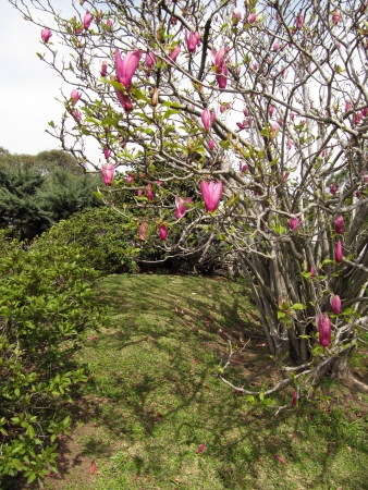 Blossoming Lilac Magnolia in a spring Japanese garden                                  photo
