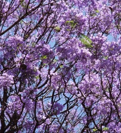 Violet flowers of the Jacaranda  Spring background Stock Photo - 16245834