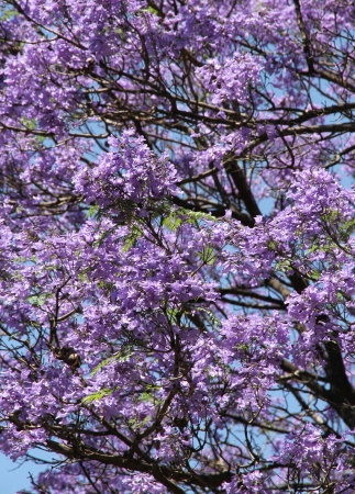 Violet flowers of the Jacaranda  Spring background