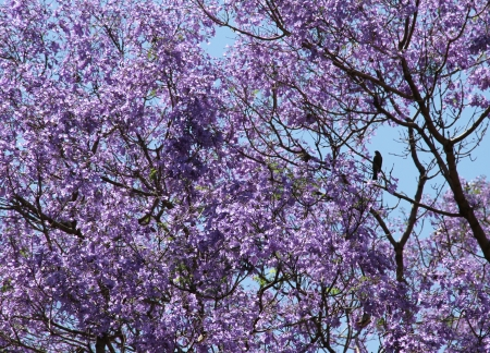 Blossoming Jacaranda  Violet spring in South America  Stock Photo