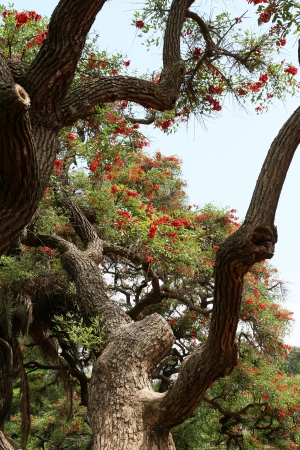 coral bark: Blossoming Coral tree  Symbol of Argentina