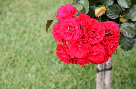Red Rose bush  Stock Photo - 16332290
