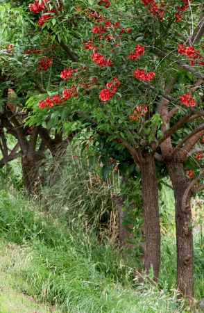 coral bark: Blossoming Coral trees in the spring