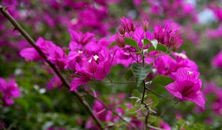 Purple Bougainvilia  spring flowering  photo