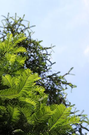 Branches of the Yew coniferous tree against the sky  photo
