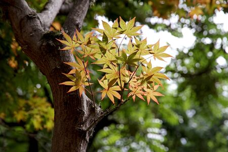 Spring foliage of the Japanese maple Stock Photo - 16765639