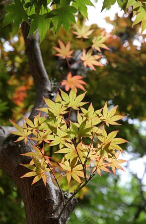 Maple Japanese in the spring.Young foliage. photo