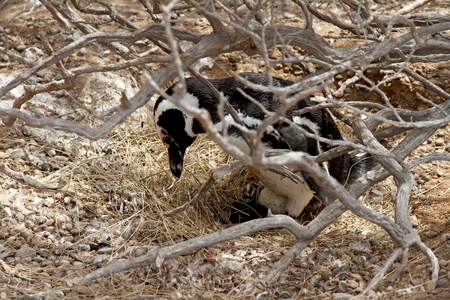 Magellanic Penguin in a nest hatches out egg  Reproductive time  photo