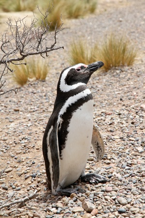 Penguin Magellanic in the wild nature  photo