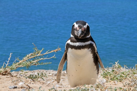 Penguin Magellanic on the Atlantic coast