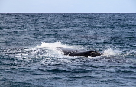 Big Right Whale floats at the ocean  Live Planet  photo