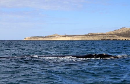 Right Whale in the Atlantic Ocean  Puerto Piramides  Patagonia