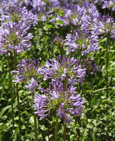 Violet spring flowers in a garden  Flower background Stock Photo - 17068222