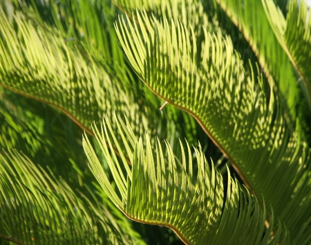 Japanese Palm Tree green leaves. Background. Stock Photo - 17109180