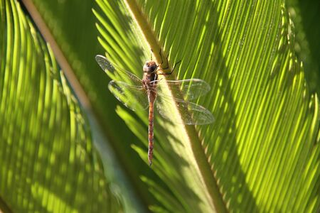 Dragonfly on green palm leaves. Stock Photo - 17109181