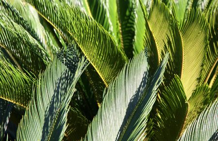 Green leaves of a Palm tree. Decorative background.