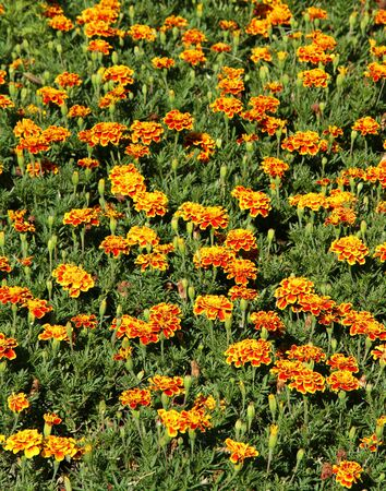 Bright orange Marigolds. Flower background.
