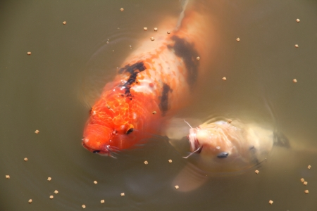Large fish Carp in the lake eats a forage  Stock Photo