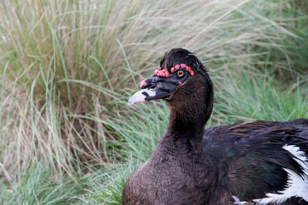 Black Musky Duck in the nature  Stock Photo