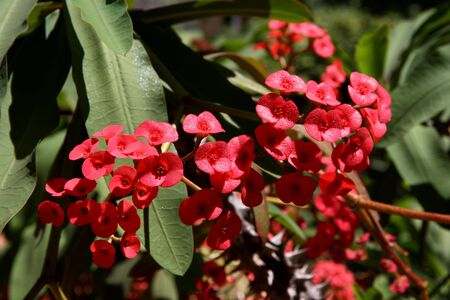 Red Euphorbia flowering in a garden  Stock Photo