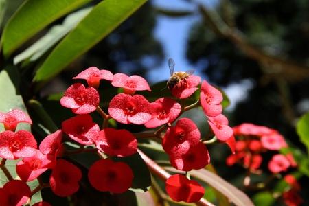Euphorbia milii flowering  Working bee  Stock Photo - 17375262