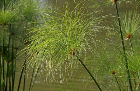 Plant of the green Papyrus