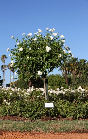 Blossoming bush of white Roses in a summer garden