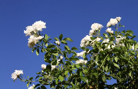 Blossoming white Roses against the sky