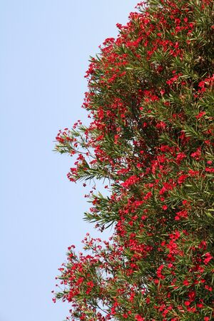 Blossoming tree of the Oleander Stock Photo