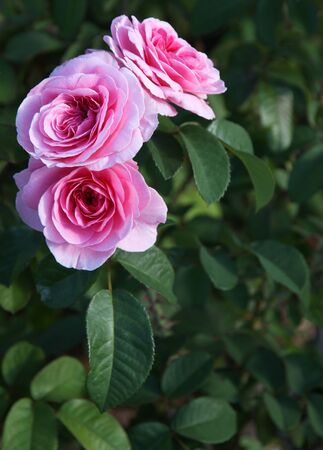 Graceful pink Roses  Stock Photo