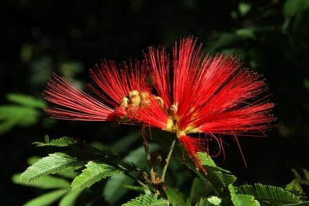 Magic red flowering of a tree Calliandra