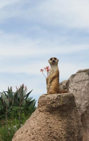Ridiculous small animal Surikat on a stone