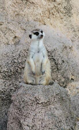 ridicolo: Meerkat ridicolo su una pietra