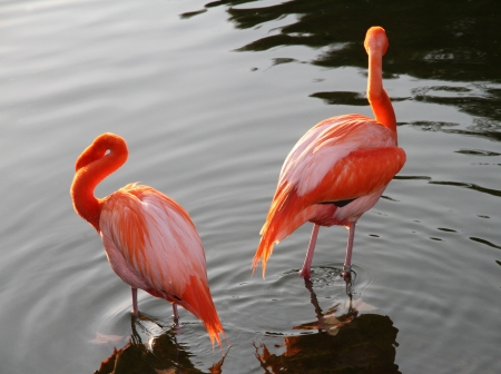 Couple of beautiful Red Flamingos in the lake  Ways disperse