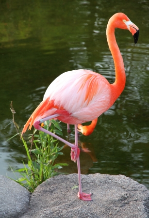 American Red Flamingo  Graceful bird