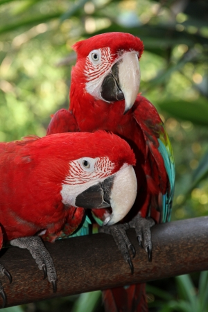Couple of exotic birds Scarlet Macaw  photo